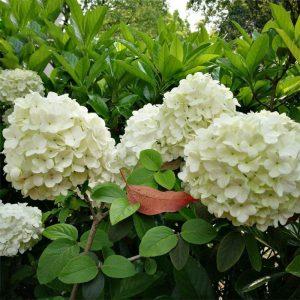 Egrow 30 st / paket Viburnum Macrocephalum Trädfrön Blommefrö Heminredning