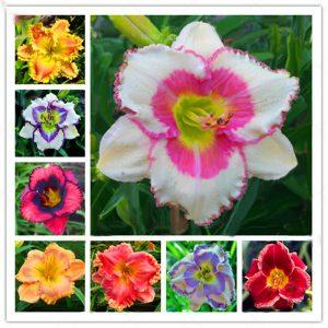Egrow 50 Pcs/Pack Daylily Seeds Daylily Flowers Hemerocallis Lily Indoor Bonsai Flower Perennial Plant for DIY Home Garden Supplies