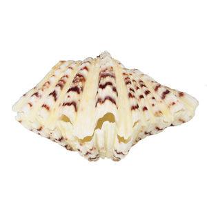 Living Room Ornaments Sea Shell Clam Tridacna Big Conch Natural 10-12CM Fish Tank Decorations