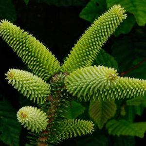 Egrow 10 st / pack Spanishfir frön Abies Pinsapo träd för trädgårdsväxt