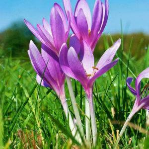 Egrow 100 st / pack saffran krokusfrön lökar bonsai krydda sativus blomma för trädgårdsväxt