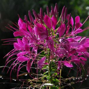 Egrow 100 st / pack Cleome Spinosa frön blandad blomma Hassleriana Bonsai för trädgårdsväxt