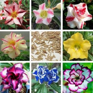 Egrow 5 st / paket blandad färg öken rosfrön grenar krukväxter för trädgårdsväxter