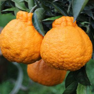 Egrow 20 st / pack apelsinfrön Ugli frukt organiska träd för trädgårdsväxt