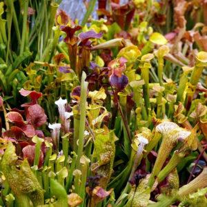 Egrow 10 st / paket köttätande frön trompetform Sarracenia blomma Bonsai för trädgårdsväxt