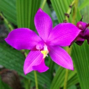 Egrow 20 st / pack orkidéfrön Spathoglottis tunga blomma Bonsai för trädgårdsväxt