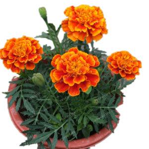Egrow 100 st / pack afrikansk ringblomma blommor Flores frön för hem trädgård blommor gren krans